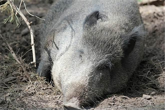 Дикая свинья украла у туристов пиво
