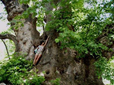 На днях двухвековой клен в Сычевском районе получил статус «Дерево — памятник живой природы»