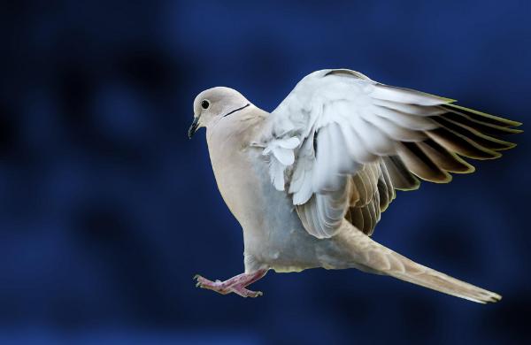 Власти Вены будут штрафовать за кормление голубей