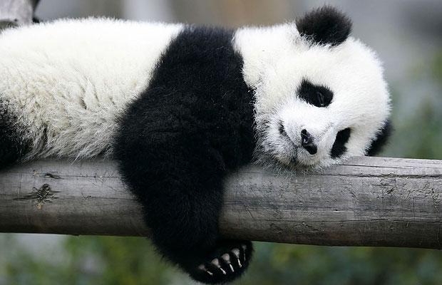 В одном из зоопарков Японии родились панды-двойняшки