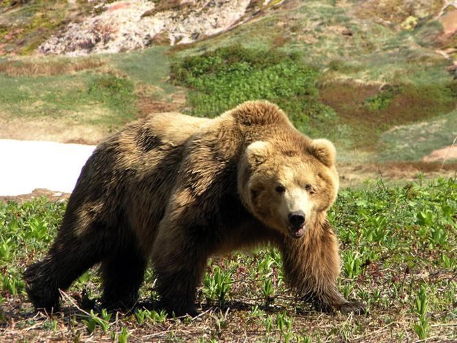 Магадан привлечет туристов охотой на медведей