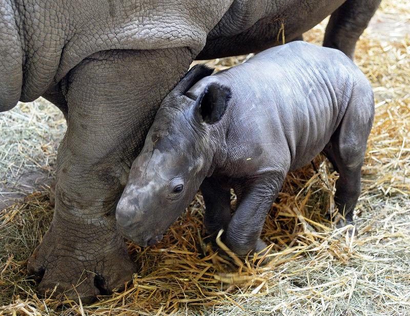 В одном из зоопарков Австралии фотографам удалось снять рождение носорогов