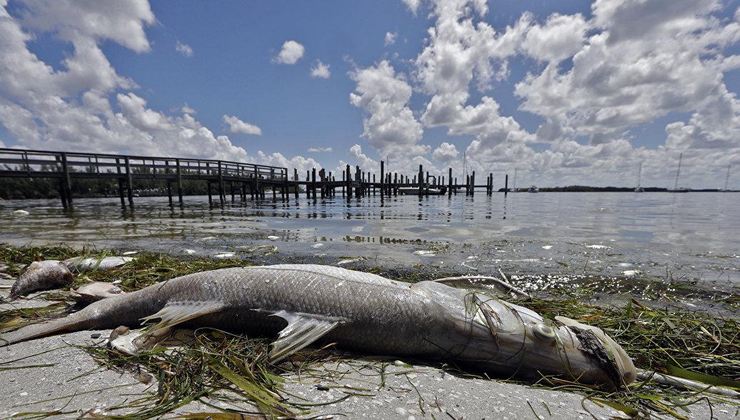 У берегов Флориды токсичная водоросль убивает рыбу и морских животных