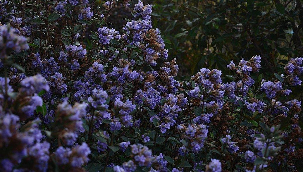 В Индии распустились неелакуринджи, цветущие раз в двенадцать лет
