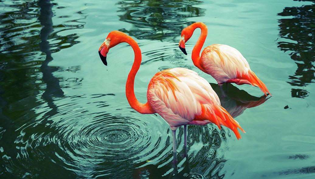Барнаульский зоопарк показал романтичный танец фламинго