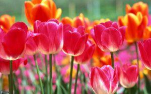 Около 100 тысяч тюльпанов покажут на параде цветов в Крыму