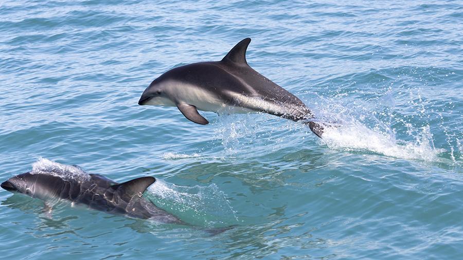 Власти Новой Зеландии запретили туристам плавать с дельфинами